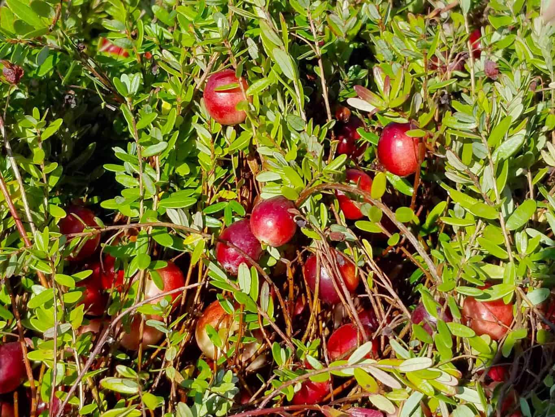 Cranberry plants in marsh field