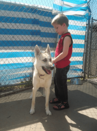 Adopt a Rescue Dog - German Shepherd Husky mix dog
