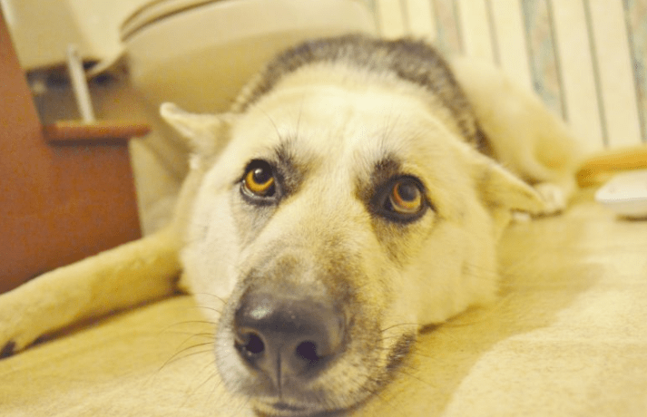 Tips for Traveling with your Furry Buddy: German Shepherd Husky Mix