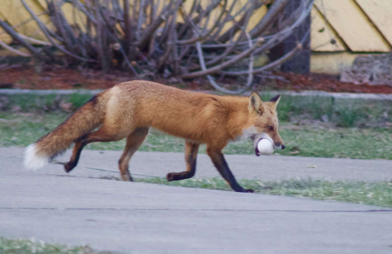 red fox stealing egg at Buffalo Trace