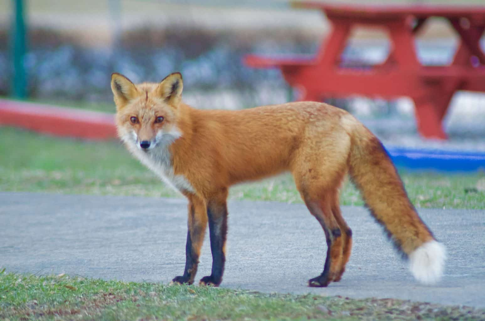 red fox at campground in Indiana