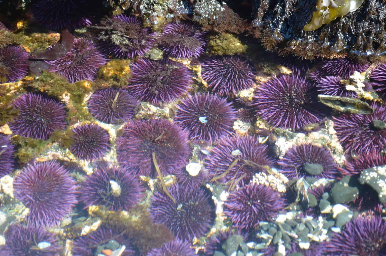 sea urchins in Pacific ocean tidal pools oregon