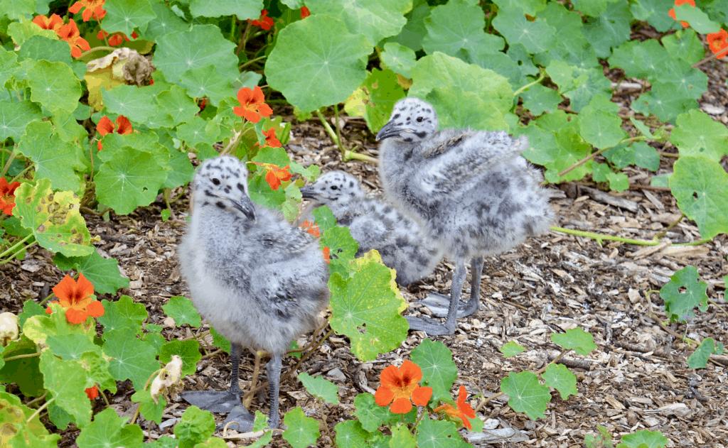 baby seagulls Western Gulls