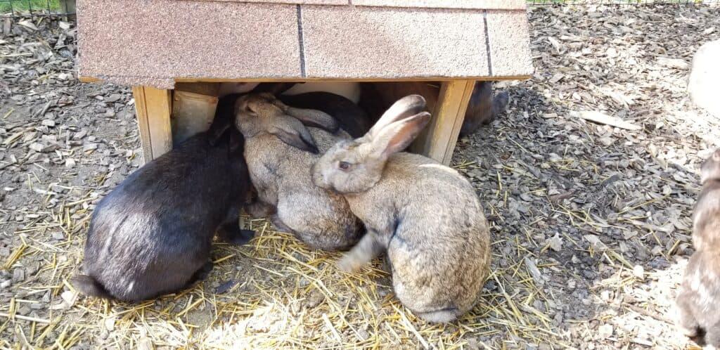rabbits bunny yard