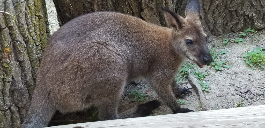 wallabies and kangaroos