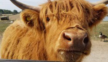Ox close up safari park