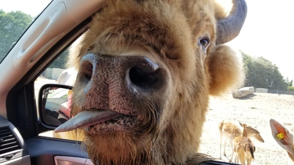 bison sticking tongue out