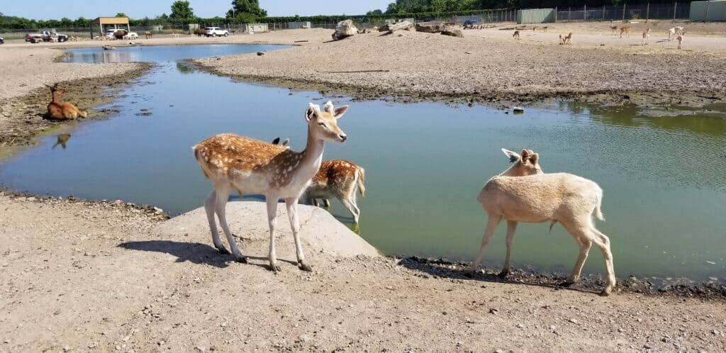 deer by lake at African Safari Park