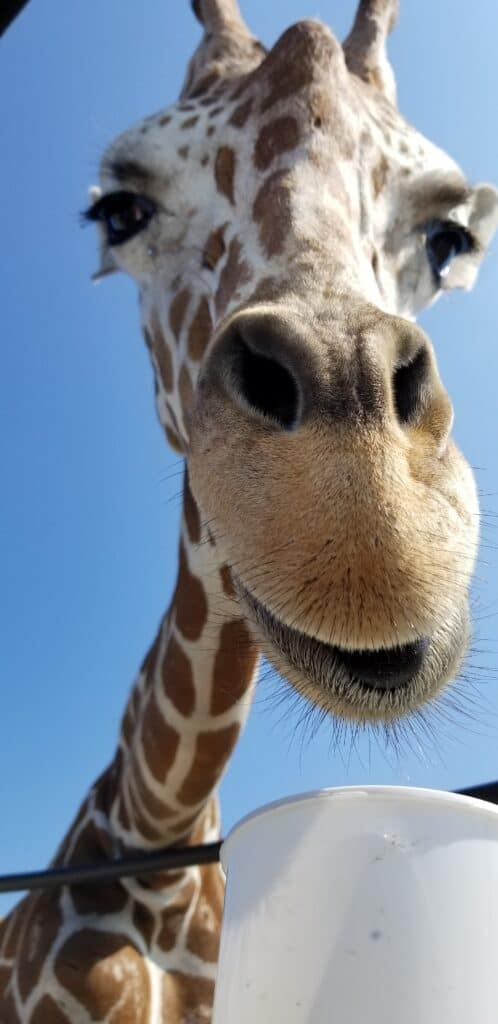 giraffe close up vertical photo