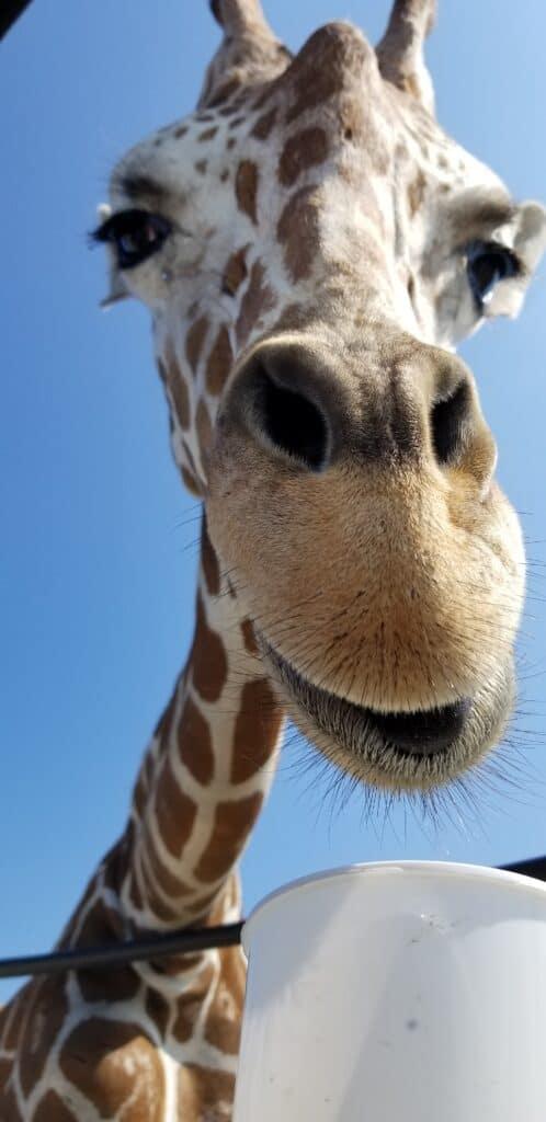 giraffe close up vertical photo