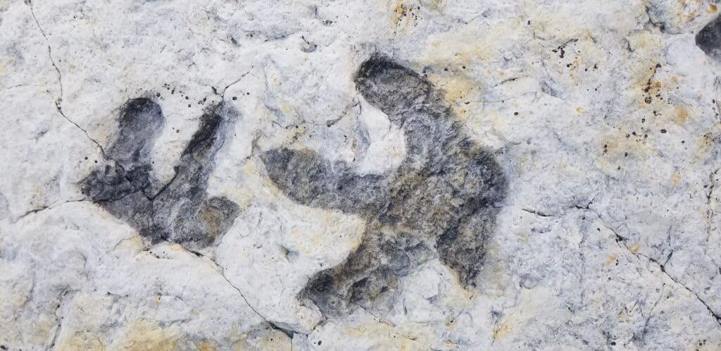 dinosaur footprints track fossil