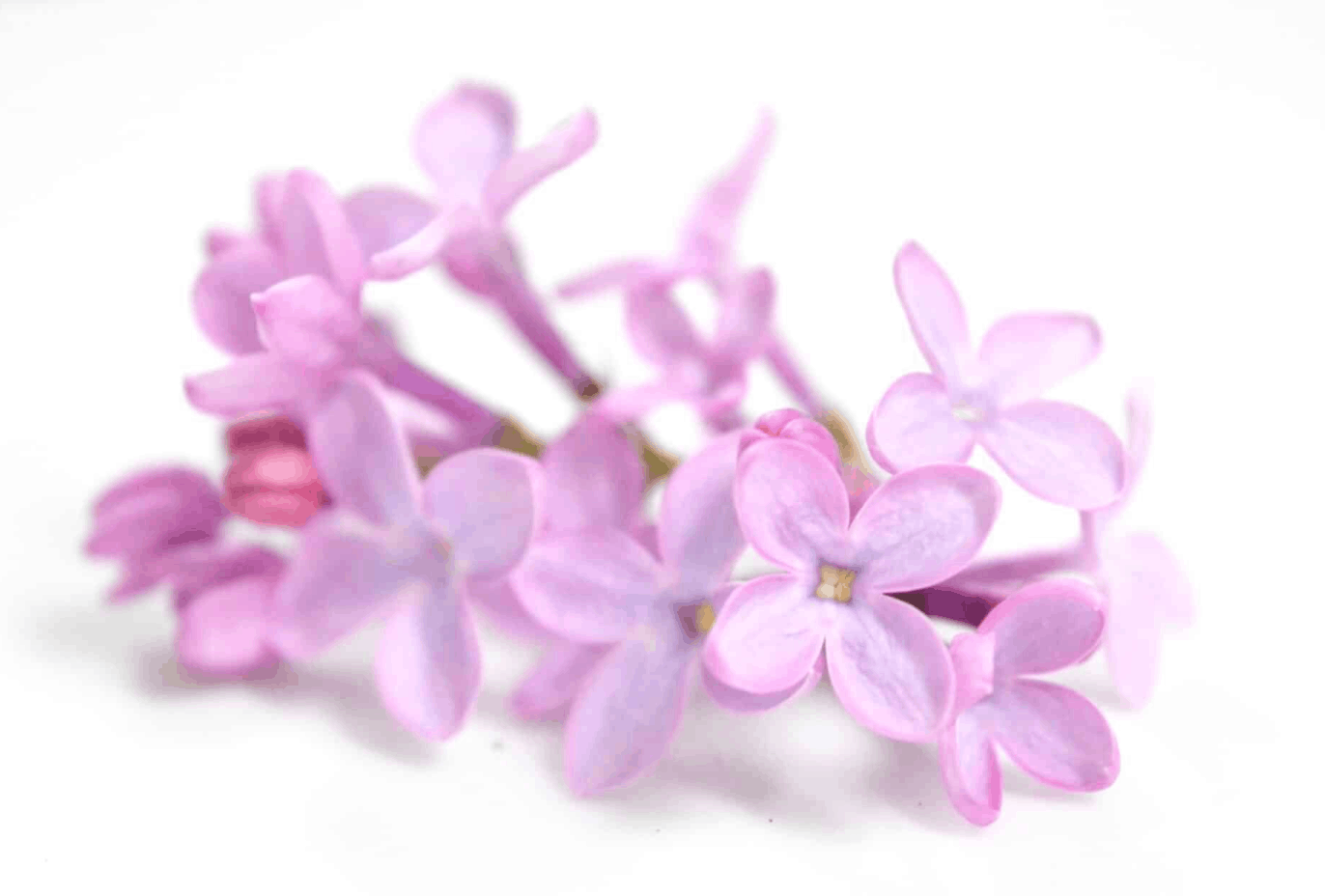close up lilac flowers on white background