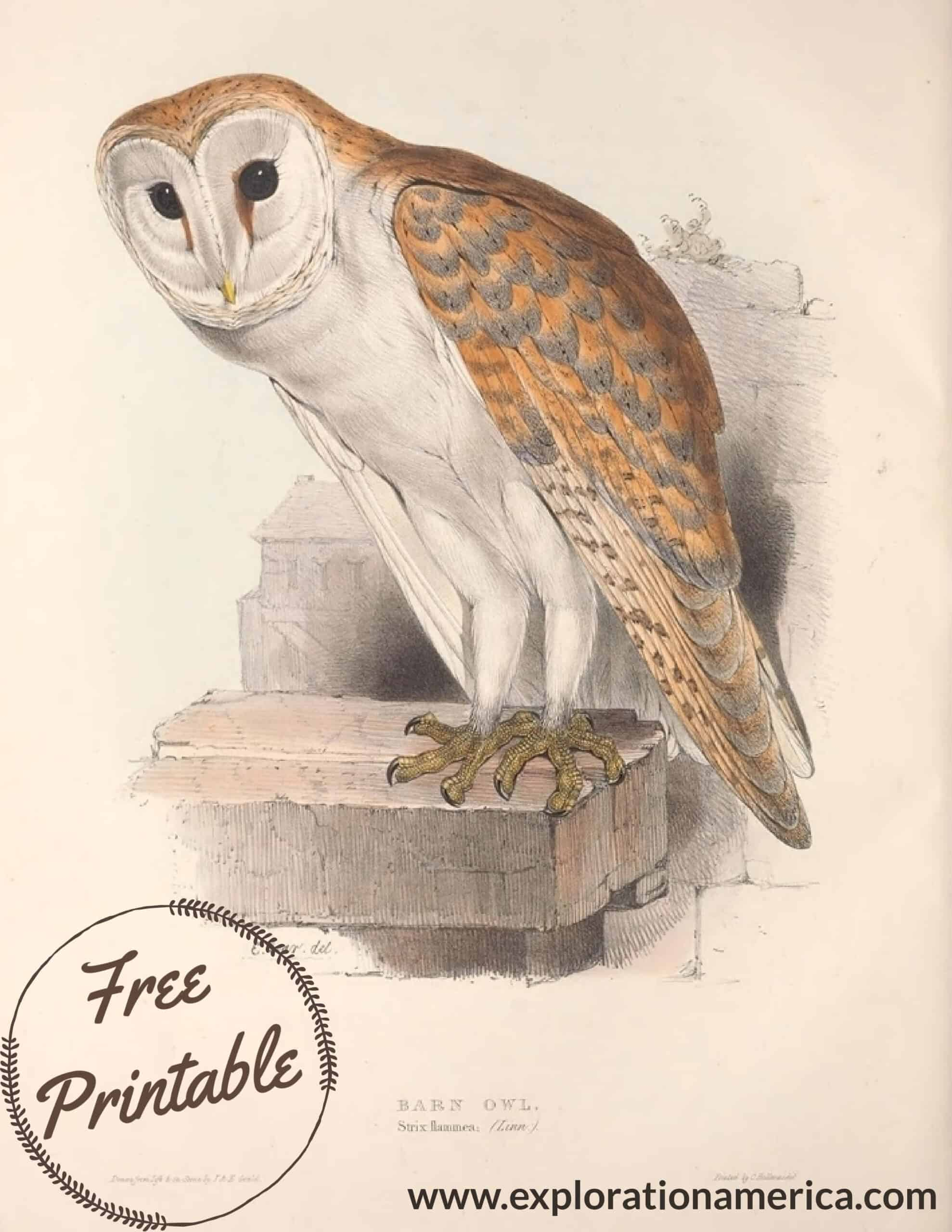 free barn owl poster print