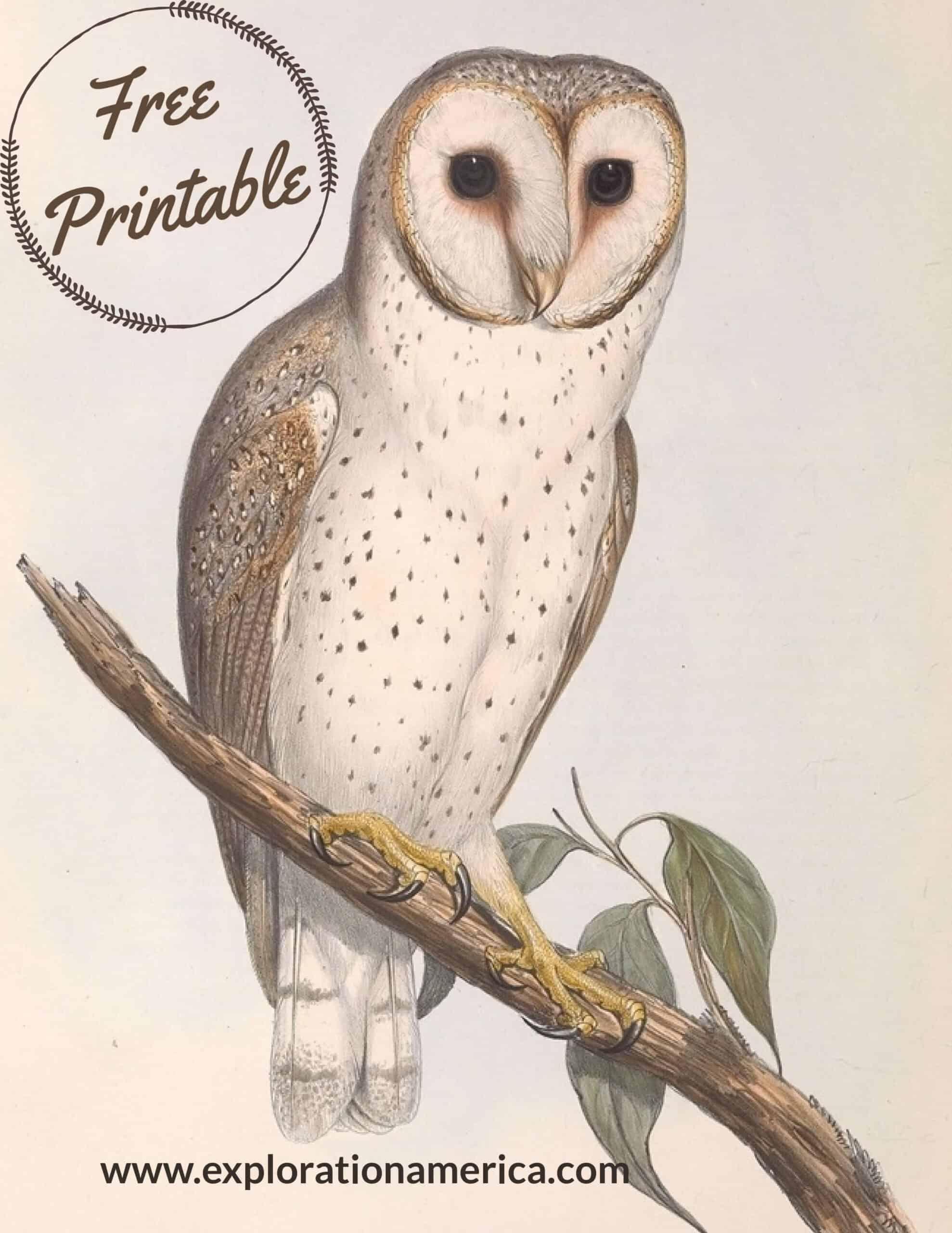 free barn owl poster art print