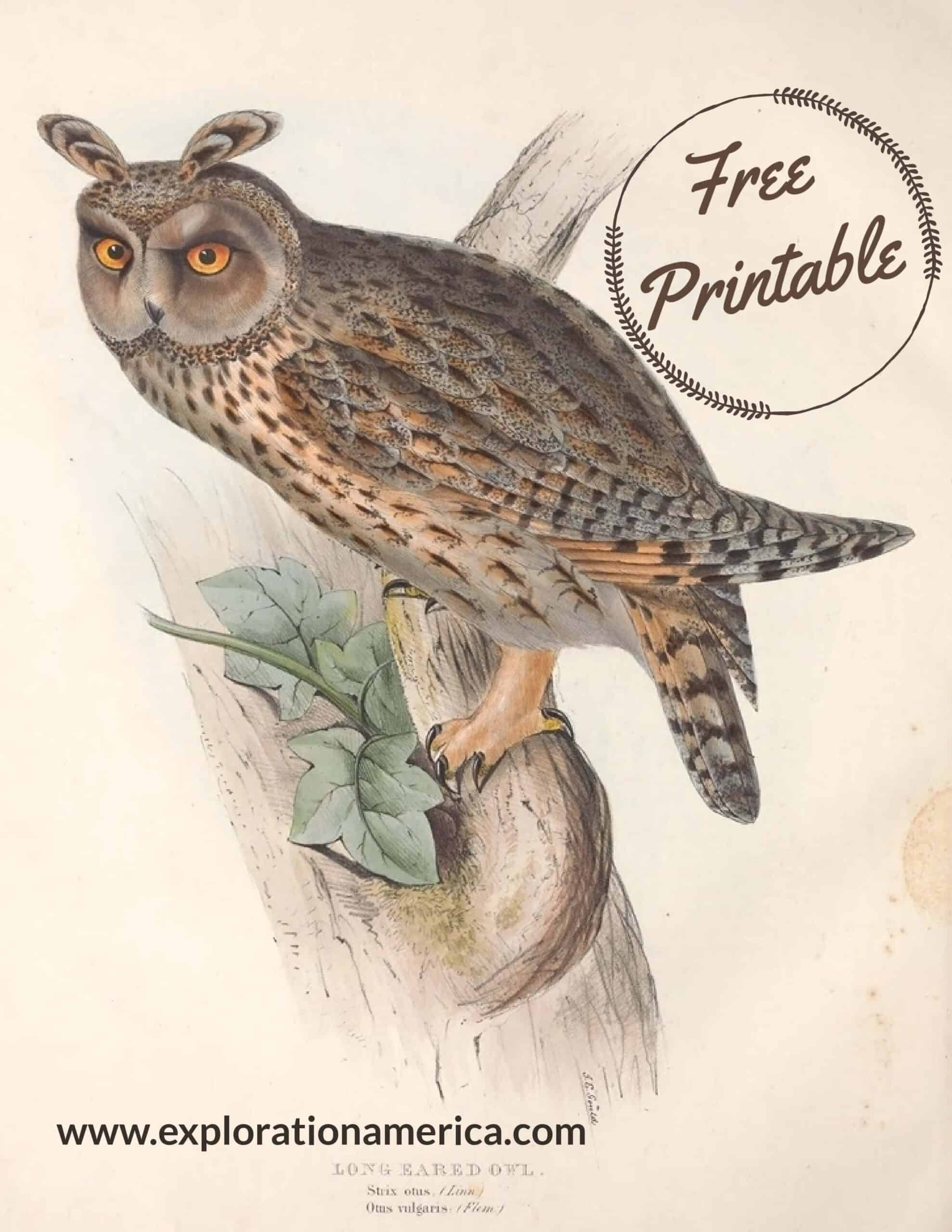 free long eared owl nature poster printable